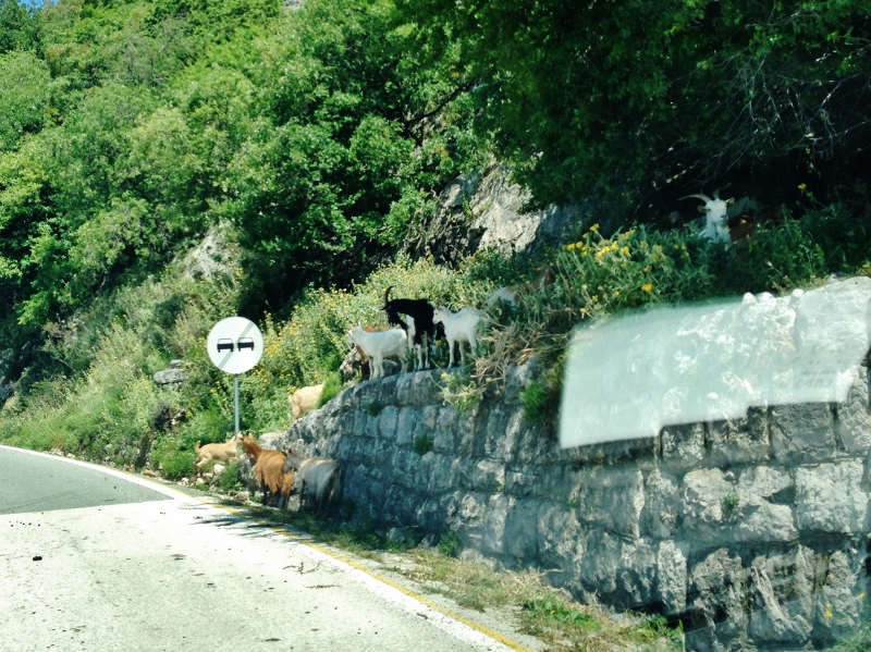 goats on road- Montenegro